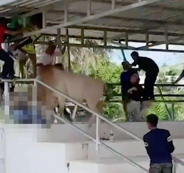 bull gores woman, thailand. viral video