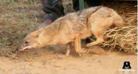 india, jackal killed, elephant killed, fruit bomb, meat bomb