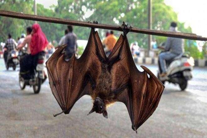 india coronavirus, india bats, covid-19