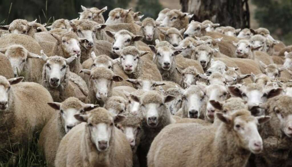 sheep, pfizer, viagra, sex run